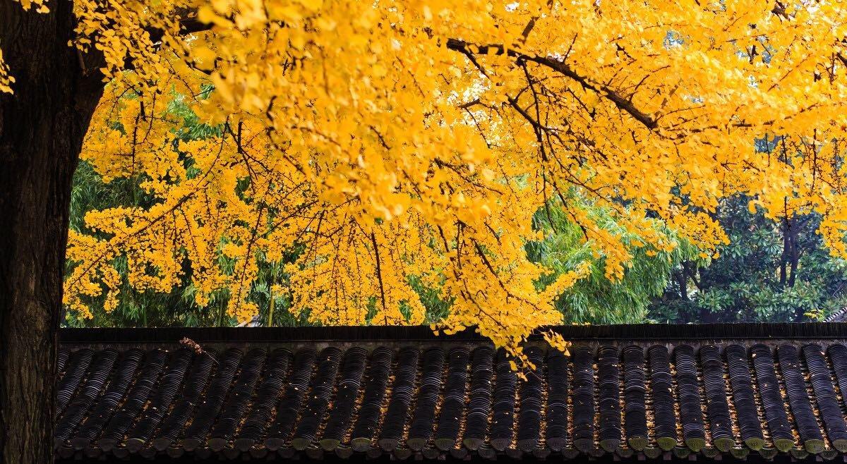 桂林海洋乡——天下银杏第一乡