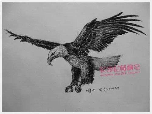 老鹰速写(上图)